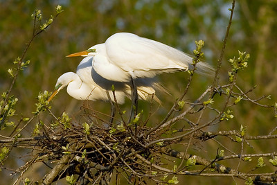 In addition to being monogamous, both Great Egret parents incubate their eggs.