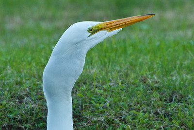 Great Egret wtih Perch