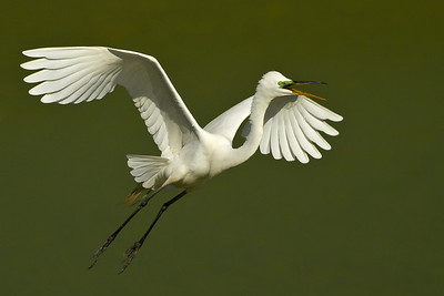 Great Egret in flight at Bird City