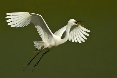 Great Egret in flight at Bird City