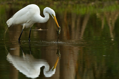 Great Egret wtih Minnow