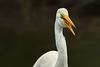 Great Egret fishing in Jungle Gardens.