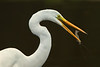 Great Egret fishing in Jungle Gardens.