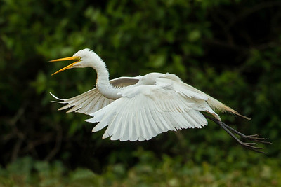 Great Egret announcing his arrival and preparing to land at Bird City.