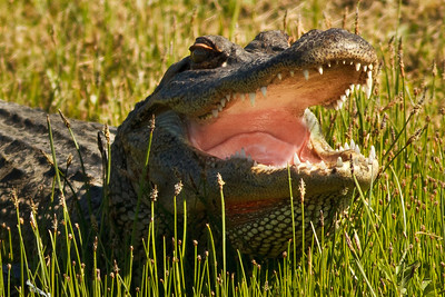 Alligators have the strongest laboratory-measured bite of any animal--equivalent to the force of a medium sized sedan falling on someone.