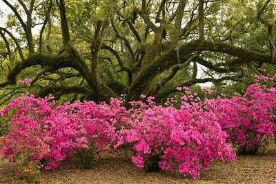 Azaleas at the base of a Southern Live Oak in Jungle Gardens.