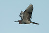Little Blue Heron Flying over Avery Island's Bird City.