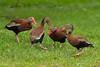 Black-bellied Whistler Ducks in Jungle Gardens squabling on a spring morning.