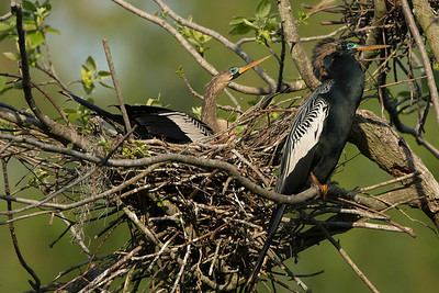 Female and male Anhingas on their next.  The female has a brown head, neck, and chest, while the male has much more black coloring.