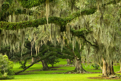 These Southern Live Oaks in Avery Island's Jungle Gardens, photographed the morning after a July rainstorm, are draped with Spanish Moss and Resurrection Fern. Resurrection Fern is so named because it can survive long periods of drought, during which it curls up, turns brown and dry, and looks dead. But within 24 hours of one good rain it can revive to the lush green shown here.