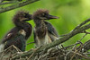 Tri-colored Heron chicks on Avery Island.