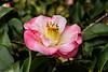 Dr. Tinsley <em>Camellia japonica</em> on Avery Island.