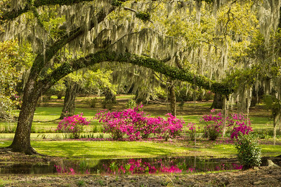 Jungle Gardens Azaleas beneath an Oak reflected in the small pond.The Oak branch is covered in Resurrection Fern.