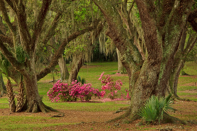 Azaleas framed by Southern Live Oak draped with Spanish Moss in Avery Island's Jungle Gardens.