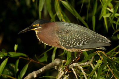 Green Herons inhabited the wet area originally called Willow Pond, and now known as Bird City, even before E. A. McIlhenny brought the first 8 Snowy Egrets there to raise.  Green Herons are considered among the world's most intelligent birds, because they sometimes drop food or insects on the water's surface to attract fish, making them one of the few species to use tools. They are generally nocturnal, and are not very tolerant of other birds. This Green Heron was photographed perched in the Buttonwood tree to the right of Bird City's observation platform, in Avery Island's Jungle Gardens.