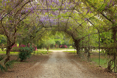 Wisteria Arch in Avery Island's Jungle Gardens.
