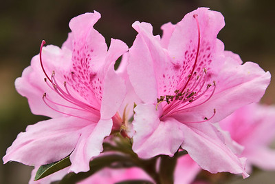 "E. A. McIlhenny first planted ""Elegance"" Azaleas like these in Jungle Gardens in 1932.  They are difficult to purchase commercially today."