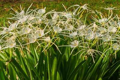 Spider Lily in Avery Island's Jungle Gardens.