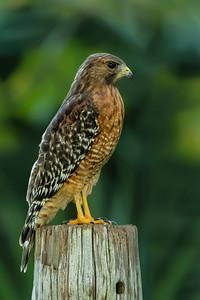 Juvenile hawk on Avery Island.