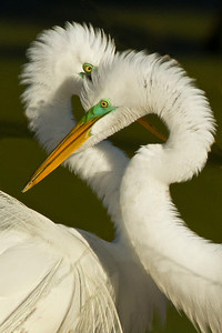 Great Egrets are monogamous, and both parents incubate their eggs.
