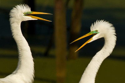 March brings mating season for the Great Egrets, who are the first Egrets to migrate back to Bird City each spring.