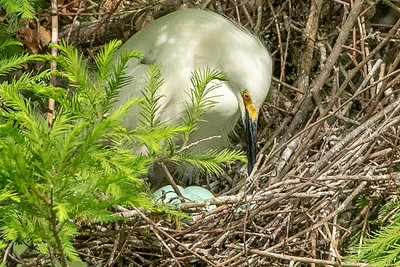 Snowy Egret with several light blue eggs in its nest.