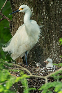 Snowy Egret wtih chicks on Avery Island.
