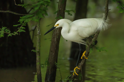 In the late 1800's Snowy Egrets, with their distinctive black legs and yellow feet, were hunted nearly to extinction because their lacy plumes were in such demand as decorations for ladies' hats. In those days an ounce of egret feathers sold for twice the price of gold.