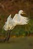 Great Egret preparing to land at Avery Island's Bird City.