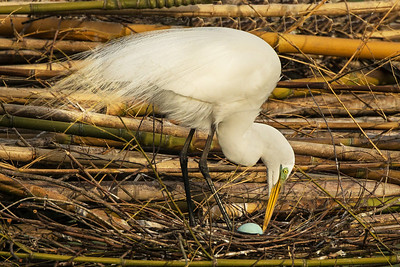 Great Egret eggs are pale blue.