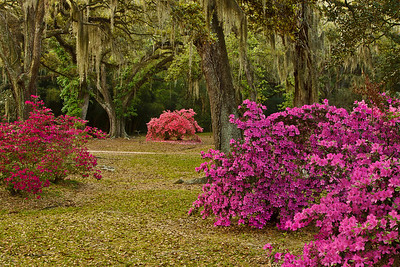 Jungle Gardens, today a 170-acre park located on Avery Island, Louisiana, was originally the home of E.A. McIlhenny, the third president of McIlhenny Company, and a well known naturalist.  Jungle Gardens is known for its majestic Southern Live Oaks, often draped with Spanish Moss or Resurrection Fern, and for its Azaleas, Camellias, Alligators, migratory birds, and many other unique species.