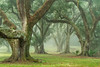 Jungle Gardens Southern Live Oaks on a foggy fall morning.