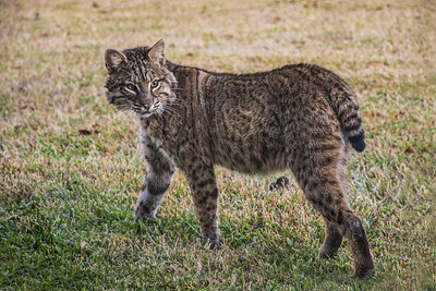 The Acadiana Advocate reports that although Bobcats are common, they are so elusive and solitary that few people see them in the wild.  This Christmas Day 2017 was the first chance we have had to get a photo of a Bobcat here on Avery Island.  Louisiana has a Bobcat Refuge, near Lafayette, founded by Pamela Connery in 2010, with a mission of returning Bobcats to the wild.  They are helpful to the environment, as they kill venemous snakes that get into duck blinds and deer stands. They mainly pursue rabits, mice, squarrels and birds--and can pounce on a target from 10 feet away. Bobcats are preyed upon by great horned owls, coyotes and ferel pigs.  Female Bobcats have litters of 1-6 kittens, who stay with their mother for up to a year.