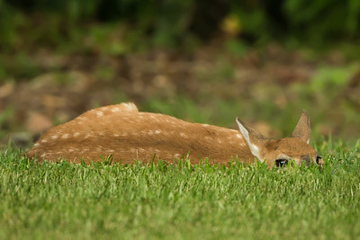 Naptime for this fawn on Avery Island.