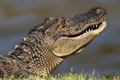 Alligators that swim in the water below the nests protect the egrets at Bird City from predators.