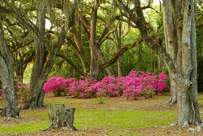 Azaleas blooming in a cathedral of Southern Live Oaks in Avery Island's Jungle Gardens.