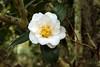 <em>Camellia japonica</em> in Avery Island's Jungle Gardens.