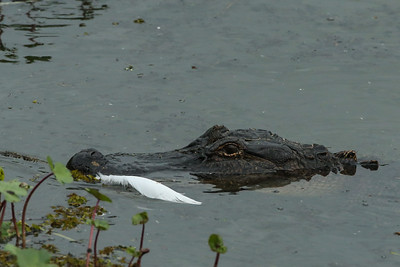 Alligator patrolling at Bird City in Avery Island's Jungle Gardens.