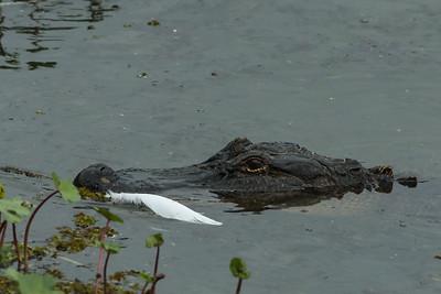 Alligator patrolling at Bird City in Avery Island's Jungle Gardens.
