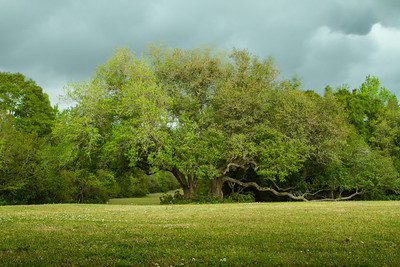 Southern Live Oak tree before a spring thunder storm on Avery Island.