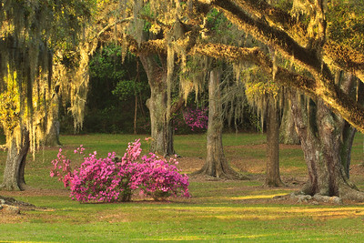 March morning sun lighting Spanish Moss and Azaleas blooming under the Live Oaks of Avery Island's Jungle Gardens.