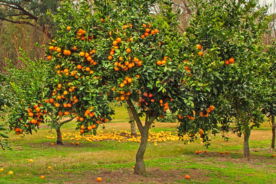 Orange Tree on Avery Island.