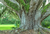 Large old Southern Live Oak with Resurrection Fern.