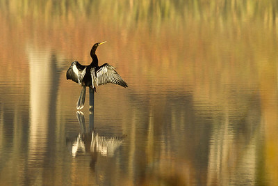 Unlike other waterfowl, the Anhinga has no oil in its feathers to repel water.  Thus it can swim underwater in pursuit of the fish it feeds on.  Since its feathers absorb water, the Anhinga must dry its wings in the sun before it can fly, as this one did on a chilly December morning.