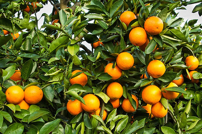 Oranges growing on Avery Island.