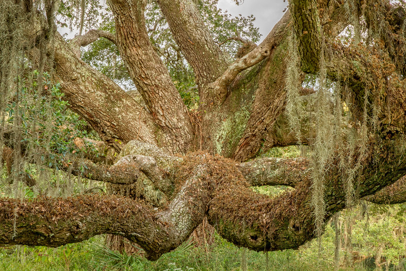 Oak limbs on Avery Island.
