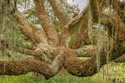 Oak limbs on Avery Island.