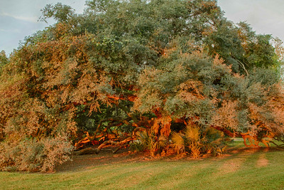 The  red rays of sunrise lighting up a Southern Live Oak on Avery Island