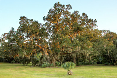 With Avery Island's abundant rainfall, the Southern Live Oaks grow tall and wide, with Spanish Moss draped branches touching the ground.