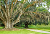 Large old Southern Live Oak with Spanish Moss.
